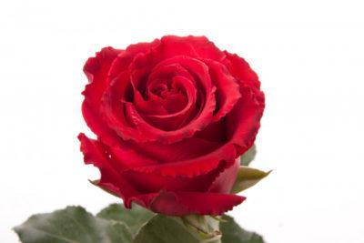 сорта красных роз