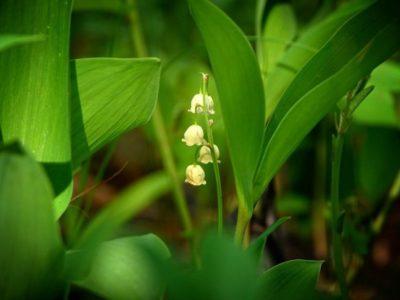 ядовитое растение ландыш