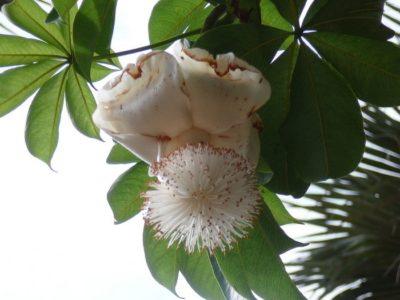райское дерево растение