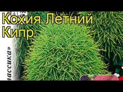 летний кипарис выращивание из семян