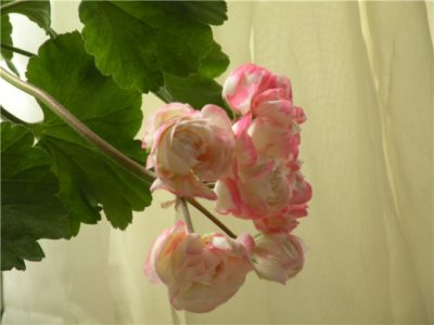 fischers appleblossom пеларгония