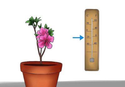 как поливать азалию в домашних условиях