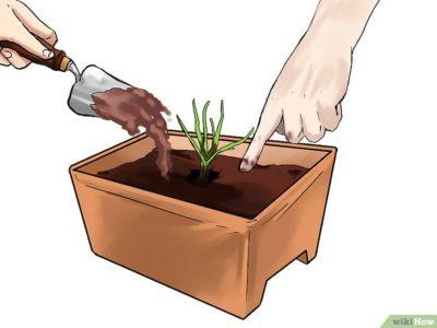 надо ли поливать тюльпаны после посадки
