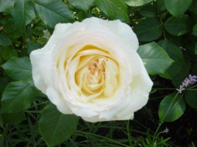 роза флорибунда посадка и уход