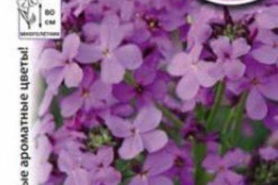 матиола розовая ночная фиалка выращивание