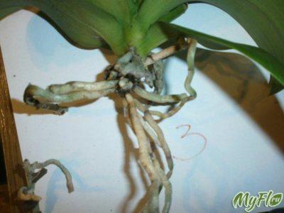 гниют корни у орхидеи что делать