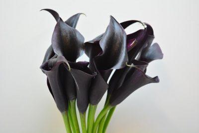 калла черная уход