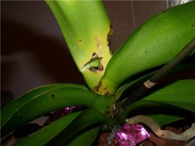 почему у орхидеи желтеют бутоны нераспустившиеся