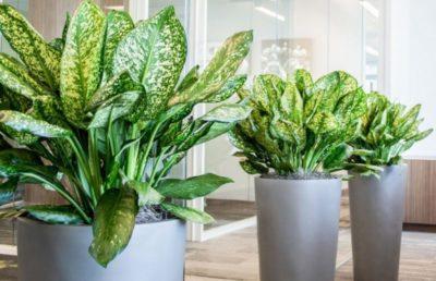комнатное растение с большими зелеными листьями