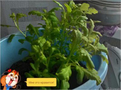 черенкование хризантем осенью