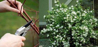 посадка чубушника весной
