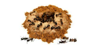 муравьи на пионах как избавиться