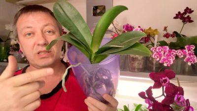 когда нужно пересаживать орхидею