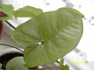 сингониум желтеют листья