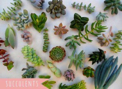 суккуленты как выращивать