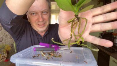 почему у орхидеи корни растут вверх