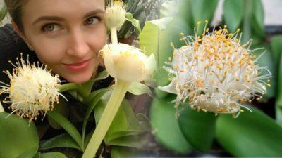 гемантус белоцветковый уход
