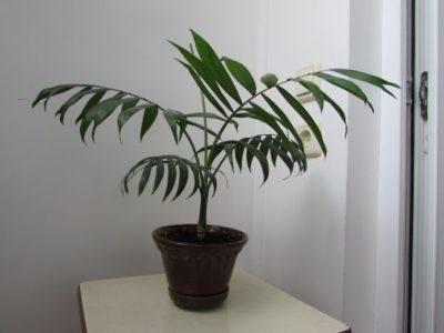 пальма хамедорея уход