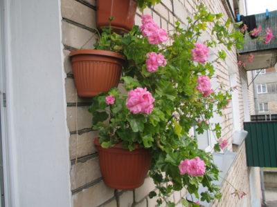 клематис на балконе