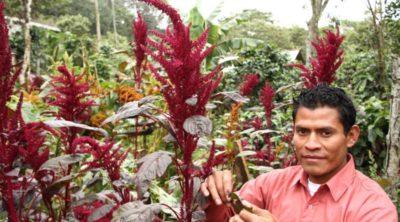 амарант растения из семейства амарантовых