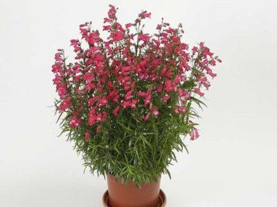 цветы кларкия изящная