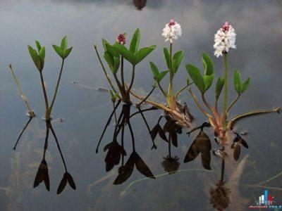 растение вахта трехлистная