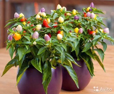 комнатное растение перец