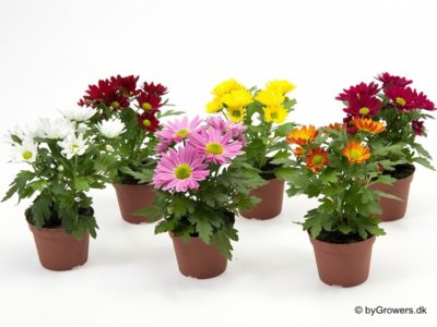 почва для хризантем