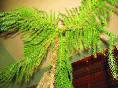 комнатные растения хвойные