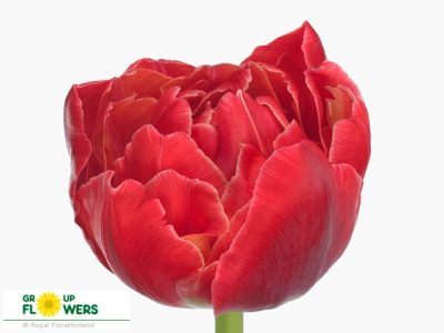 пионовидные тюльпаны сорта