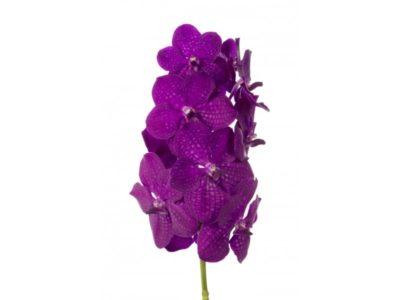 ванда орхидея уход в домашних условиях