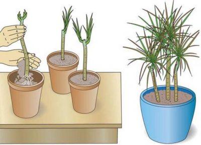 размножение драцены в домашних условиях черенками