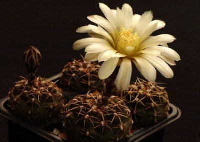 кактус гимнокалициум микс