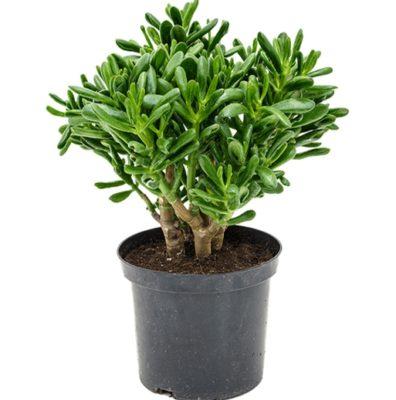 как называется денежное дерево