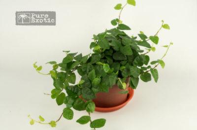 комнатные ползучие растения