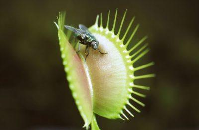 где растет венерина мухоловка