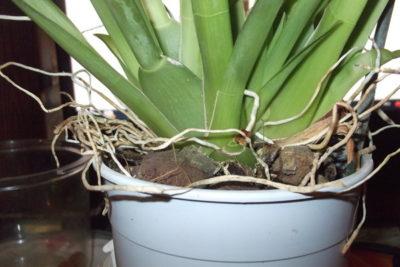 как пересадить цветущую орхидею
