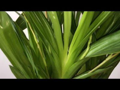 орхидея камбрия пересадка