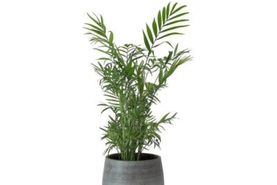 цветок пальма хамедорея