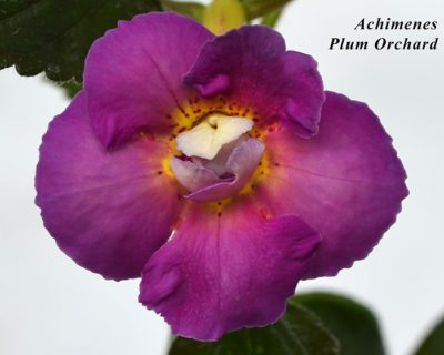 ахименес peach orchard