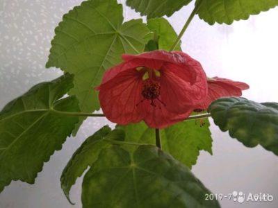 домашний клен цветок