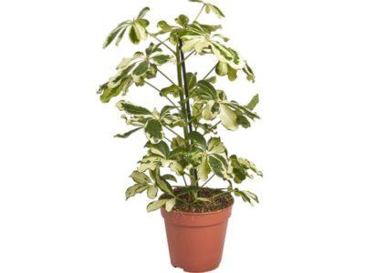 комнатные растения оби