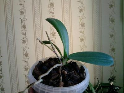 почему у орхидеи вянут листья