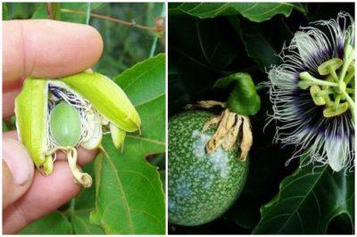 маракуйя в домашних условиях выращивание