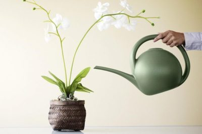как часто поливать орхидею зимой
