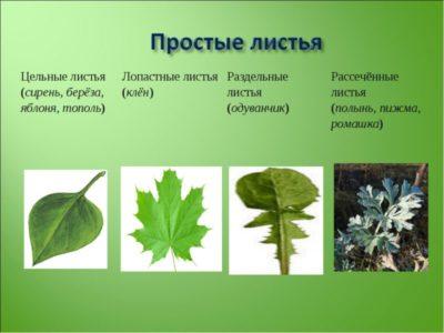 листья простые и сложные