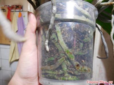 как посадить орхидею без корней