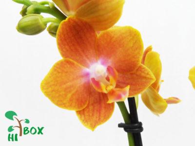 орхидея мультифлора что это такое