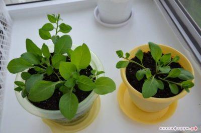 чем подкормить рассаду петунии для роста