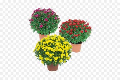 хризантемы когда сажать